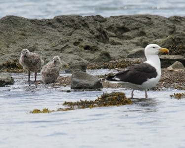 Great Blackback Seagull and her 2 chicks in Greenwich Cove