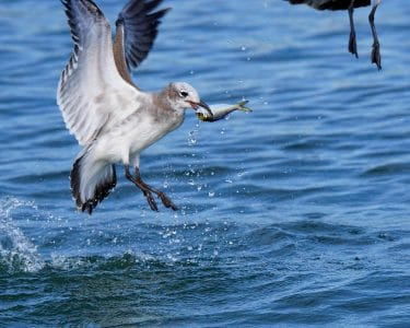Laughing Gull grabs a small fish for lunch in Greenwich Harbor