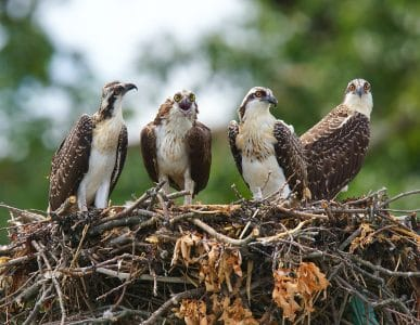 Osprey mom and 3 nearly grown chick