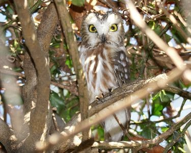 Saw Whet Owl at Tods Point