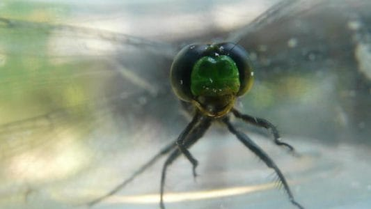 Dragonfly and Damselfly Survey