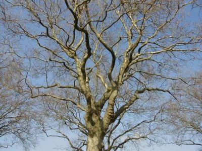 Winter Walk: Identifying Trees Without Leaves