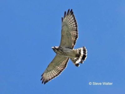 Quaker Ridge Hawk Watch Compilation and End-of-Season Gathering - Audubon Greenwich