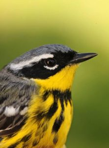 Spring Birding Workshop - Warblers and Neotropical Migrants - Audubon Greenwich