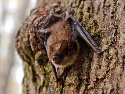 Fred Elser First Sunday Science Series - A New Dawn? Bat Diversity and Habitat Use Post-White-Nose Syndrome - Greenwich Point Seaside Center