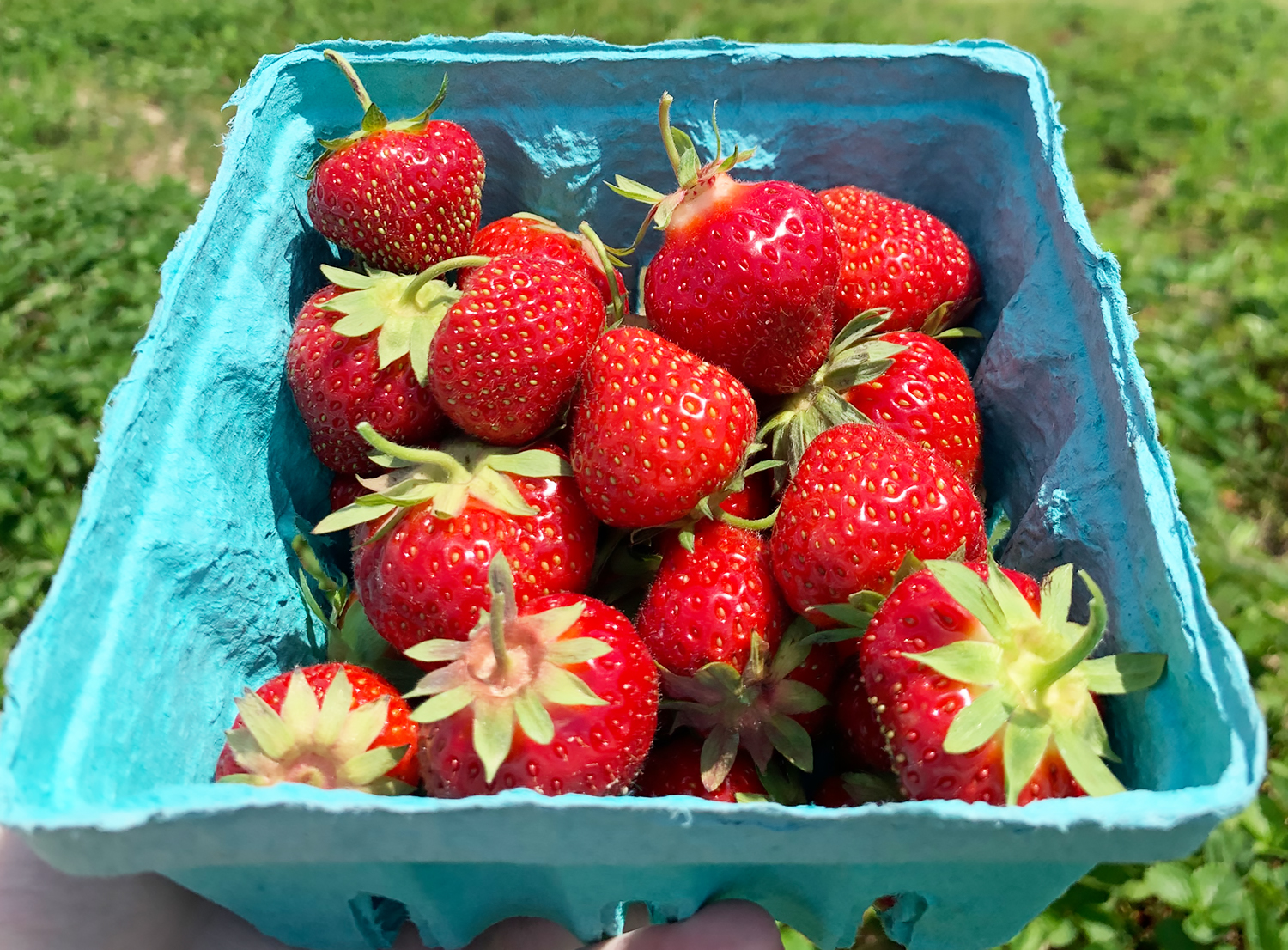 DAYTRIP: Picking Strawberries at Lewin Farms on Long Island