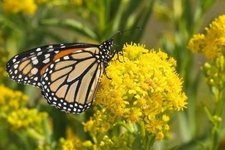 North American Butterfly Count - Audubon Greenwich