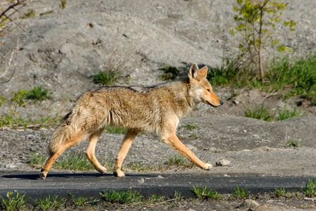 Fred Elser First Sunday Science Series at the Seaside Center - Living with Coyotes