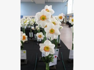 61st Annual Connecticut Daffodil Show - Christ Church - April 24 and 25