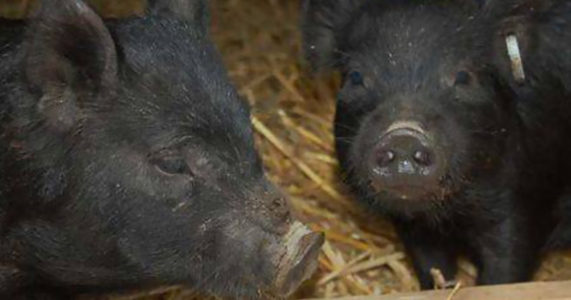 Meet the Pigs - Stamford Museum and Nature Center