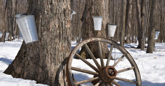 Maple Sugaring at Caumsett State Park